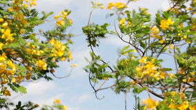 Beautiful tree with yellow flowers on blue sky. Background stock video