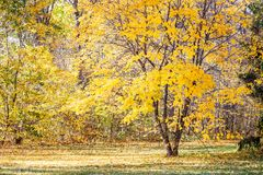 Beautiful tree with yellow foliage in autumn park.  Stock Images