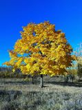 Beautiful Tree with Yellow Leaves in Autumn stock photos
