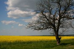Beautiful tree in the yellow rapeseed field and blue sky stock photos