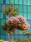 Beautiful trees. The beautiful blossomed tree with its flowers with glass façade in background Royalty Free Stock Photo