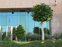 Beautiful trees in front of office building. Beautiful spiral cut of short tree and elegant higher tree in first plan, in front of the entrance in glass and Royalty Free Stock Photo