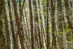 Free Beautiful Trees In The Forest Royalty Free Stock Photography - 43252717