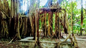 Awesome tree scenery in belize jungle royalty free stock photos