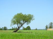 Beautiful  trees in swamp, Lithuania Royalty Free Stock Photo