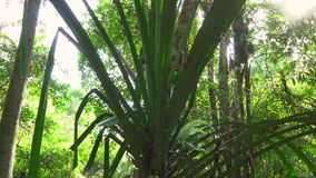 Beautiful trees in a tropical forest with sunlight rays coming through leaves stock video
