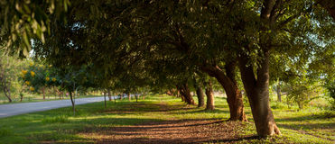 Beautiful Trees Tunnel. Tunnel of trees on the roadside in KhonKaen Univeristy, KhonKaen, Thailand Stock Photography