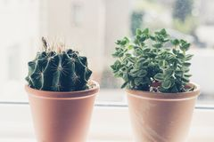 Beautiful, trendy succulents plant in the pot on the sill window. Close up shot Royalty Free Stock Photos