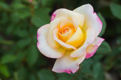 Beautiful Tri-color rose Royalty Free Stock Image