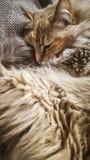 A beautiful tricolor cat sleeping on an office chair. Kitten asleep on a blanket. Stock Photo