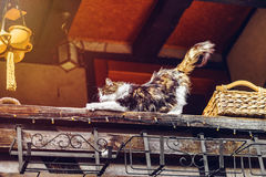 Beautiful tricolor cat on the sun Royalty Free Stock Photography
