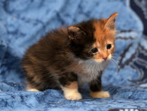 Beautiful tricolor fluffy kitten Royalty Free Stock Images