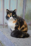Beautiful tricolor green-eyed fluffy cat. For a walk Stock Images