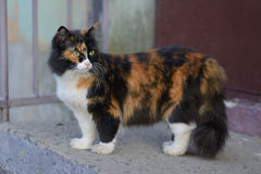 Beautiful tricolor green-eyed fluffy cat. For a walk Royalty Free Stock Photo
