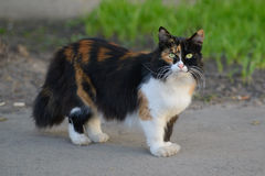 Beautiful tricolor green-eyed fluffy cat. For a walk Royalty Free Stock Images