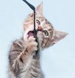 Beautiful tricolor kitten chewing toy fishing pole Royalty Free Stock Images