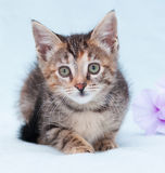 Beautiful tricolor kitten with green eyes lurking near purple fl Royalty Free Stock Photo