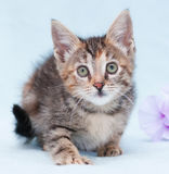 Beautiful tricolor kitten with green eyes sneaks up Stock Photos