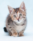 Beautiful tricolor kitten with green eyes standing, lifting paw Stock Photography