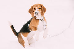 Beautiful Tricolor Puppy Of English Beagle Playing In Snow At Winter Day Stock Photo