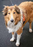 Beautiful Tricolor Rough Collie like Lassie on a Walk. Beautiful tricolor brown, white and chocolate brown Rough Collie (like Lassie) wearing harness and leash Royalty Free Stock Images
