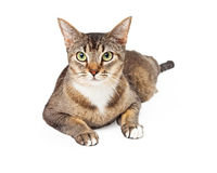 Beautiful Tricolored Cat Laying Facing Foward Royalty Free Stock Photos