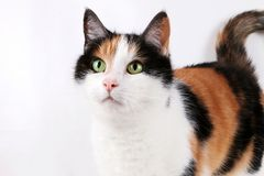 Beautiful tricolored cat portrait indoor. Beautiful tricolored cat portrait in the studio Royalty Free Stock Photo