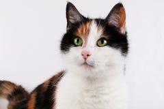Beautiful tricolored cat portrait indoor. Beautiful tricolored cat portrait in the studio Stock Image