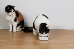 Two eating cats in the living room stock images