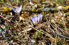 Beautiful trio on a crocus meadow Stock Image