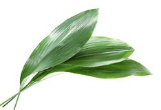 Beautiful tropical Aspidistra leaves. On white background royalty free stock images
