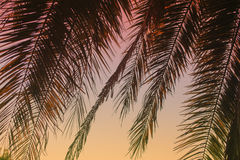 Beautiful tropical background: palm leaves on sunset Royalty Free Stock Images