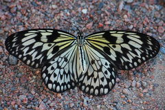 Beautiful tropical butterfly on a background of gravel Park paths. Royalty Free Stock Image