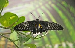 A black, tropical butterfly sits on a tree branch in the garden . A butterfly with open, black, transparent wings and a yellow out