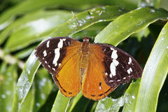 Beautiful tropical butterfly - madagascar Stock Images