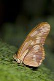 beautiful tropical butterfly setting in a conifer tree Stock Photo