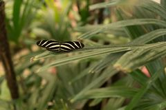 Beautiful tropical butterfly sitting on a branch of exotic plant. In Tenerife Island royalty free stock photography