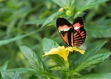 Beautiful tropical butterfly sitting on a flower. Beautiful tropical butterfly sitting on a tropical flower in Tenerife, Spain stock images