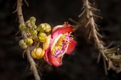 Beautiful tropical Cannon ball tree flower growing in rain forest Royalty Free Stock Image