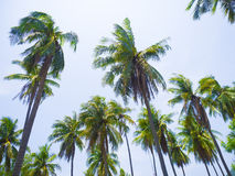 The beautiful tropical coconut plant Royalty Free Stock Photography