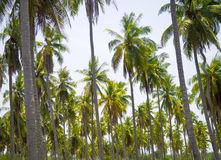 The beautiful tropical coconut plant with leaves and tree Stock Images