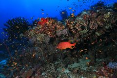 Beautiful tropical coral reef. And fish underwater in the indian ocean Royalty Free Stock Photography