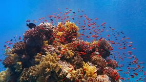 Beautiful tropical coral reef with shoal or red coral fish, anthias stock photo