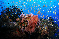 Beautiful tropical coral reef. And shoal of small fish underwater in the indian ocean Royalty Free Stock Images