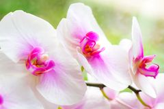 Beautiful tropical exotic branch with pink and magenta Moth Phalaenopsis Orchid flowers in spring stock photography