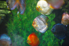 Beautiful tropical fish Royalty Free Stock Photos