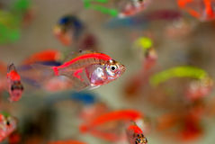 Beautiful tropical fish. A swarm of beautiful tropical fish swimming careless in the fresh water Stock Images