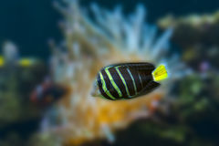 Beautiful tropical fish butterfly-fish Royalty Free Stock Image
