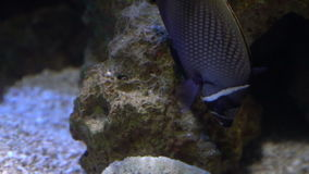 Beautiful tropical fish among corals. Beautiful tropical fish in black and white stripes among corals, shot at the zoo in Budapest stock video