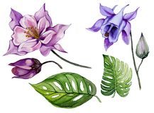 Beautiful tropical floral set purple and blue aquilegia, bud and leaves. Colorful columbine flower and green leaves isolated. Beautiful tropical floral set royalty free illustration